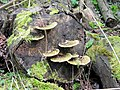 Bracket Fungi on an old log near the hide, Tringford Reservoir - geograph.org.uk - 1419284.jpg