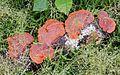 Bracket Fungus - Flickr - gailhampshire.jpg