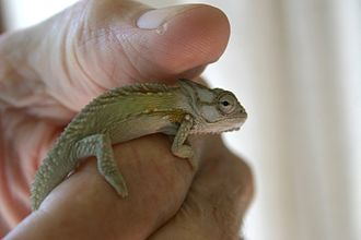 Knysna dwarf chameleon - Knysna dwarf chameleon in a human hand