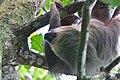 Bradypus variegatus - Tretåiga sengångare-1 - Flickr - Ragnhild & Neil Crawford.jpg