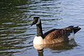 Branta canadensis Oxford Lake Alabama.jpg