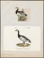 Branta leucopsis - 1700-1880 - Print - Iconographia Zoologica - Special Collections University of Amsterdam - UBA01 IZ17600181.tif