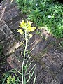 Brassica rapa L. (AM AK330285-4).jpg