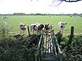 Bridge Stile and Cows near Highfield Farm - geograph.org.uk - 412228.jpg