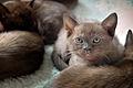 British burmese kitten - Geisha 755.jpg