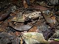 Brookesia decaryi 2009a.jpg