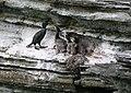 Brough of Birsay cormorant nest.jpg