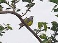 Bruce's green pigeon Kédougou.jpg