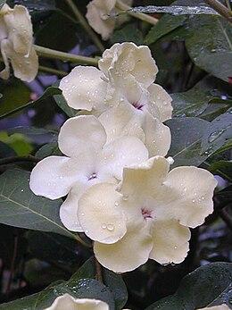 Brunfelsia americana1C2000