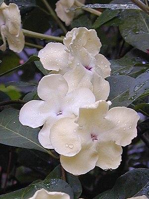 Brunfelsia americana