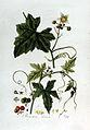Bryonia dioica — Flora Batava — Volume v2.jpg