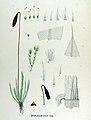 Bryum badium — Flora Batava — Volume v17.jpg