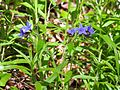 Buglossoides purpurocaerulea 002.JPG