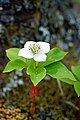 Bunchberry (28504212924).jpg