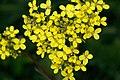 Bunias.orientalis.8297.JPG