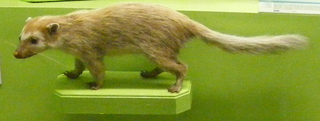Ferret-badger genus of mammals