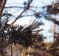 Burnt pinus sylvestris.jpg