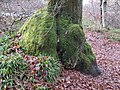 Burrs and moss sock on oak at River Nith near Eliock Bridge, Mennock, Dumfries & Galloway, Scotland.jpg