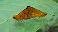 Bush hopper - Ampittia dioscorides 1.JPG