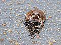 Bushveld Rain Frog (Breviceps adspersus) (12054222285).jpg