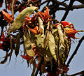 Butea monosperma (Dhak) flowers & fruits W IMG 7493.jpg