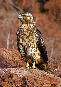 Buteo galapagoensis perched