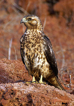 Buteo galapagoensis perched.jpg