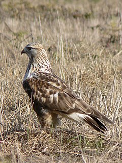 Rough-legged buzzard species of bird