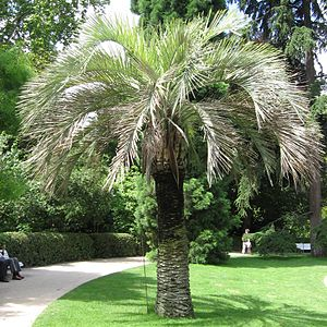 Butia capitata in einem Garten in Madrid