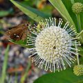 Buttonbush & Skipper (5721675982).jpg