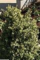 Buxus sempervirens Variegata 1zz.jpg