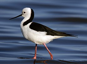CSIRO ScienceImage 10652 White-headed Stilt.jpg