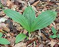 Calanthe tricarinata leaves.JPG