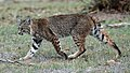 Calero Creek Trail Bobcat.jpg