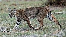 """Résultat de recherche d'images pour """"les lynx roux en position d'attaque"""""""