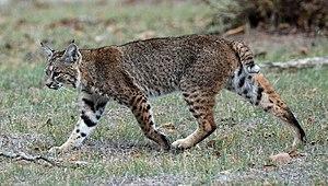 Lynx - Bobcat
