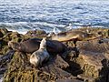 California sea lions in La Jolla (70400).jpg