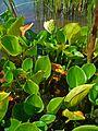 Calla palustris 1.JPG