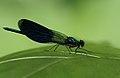 Calopterix splendens ssp. balcanica, Nera River Gorges, Romania (35453047405).jpg