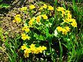 Caltha palustris 3.jpg