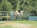 Camel Piedmont.JPG