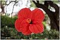 Camellia japónica .jpg