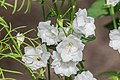 Campanula persicifolia 'La Bonne Amie' in Jardin des 5 sens (3).jpg