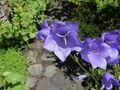 Campanula persicifolia 01-Juni.jpg