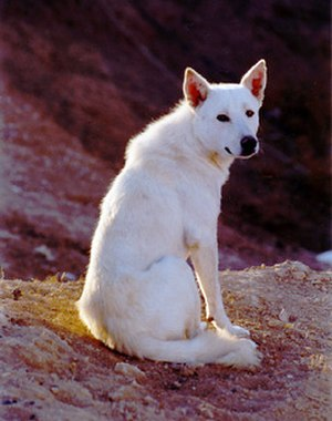 Canaan Dog - Image: Canaan Dog