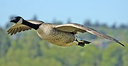Canada goose flight cropped and NR