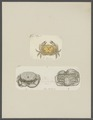 Cancer ocyroe - - Print - Iconographia Zoologica - Special Collections University of Amsterdam - UBAINV0274 094 14 0033.tif