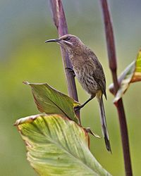 Cape Sugarbird (Promerops cafer) 3.jpg