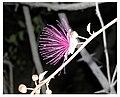 Capparis zeylenica1.jpg