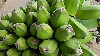 Cardava banana Banana cultivar